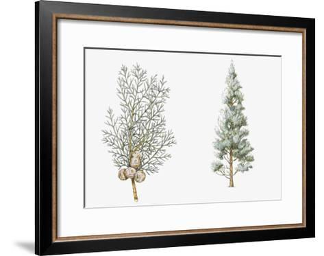 Arizona Cypress (Cupressus Arizonica) Plant, Foliage and Berries--Framed Art Print