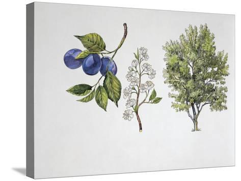 Close-Up of Plums with a Branch and Shrub (Prunus Domestica)--Stretched Canvas Print