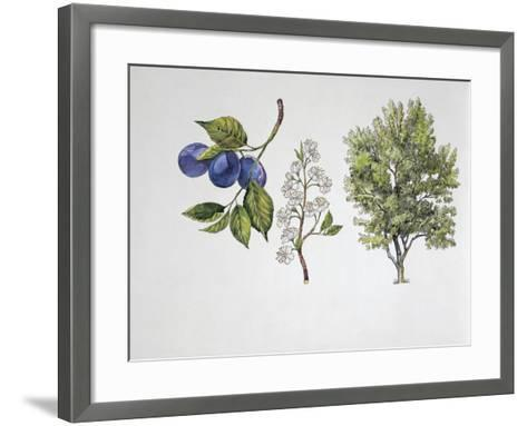 Close-Up of Plums with a Branch and Shrub (Prunus Domestica)--Framed Art Print