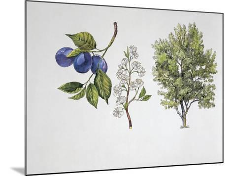 Close-Up of Plums with a Branch and Shrub (Prunus Domestica)--Mounted Giclee Print