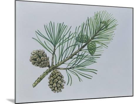 Close-Up of Scotch Pine Cones on a Branch (Pinus Sylvestris)--Mounted Giclee Print
