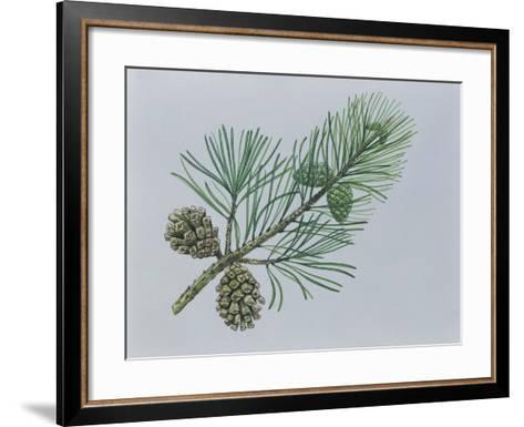 Close-Up of Scotch Pine Cones on a Branch (Pinus Sylvestris)--Framed Art Print