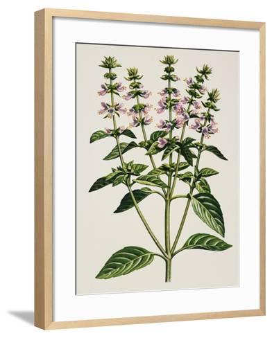 Basil or Thai Basil (Ocimum Basilicum), Lamiaceae--Framed Art Print