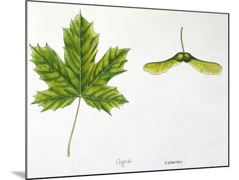 Leaves and Fruits Samara, Keys of Norway Maple Acer Platanoides--Mounted Giclee Print