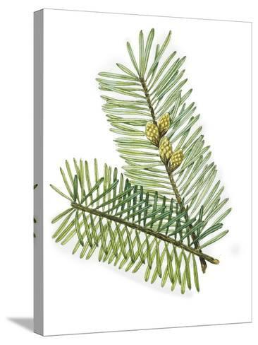 Pinaceae Leaves and Cones of European Silver Fir Abies Alba--Stretched Canvas Print