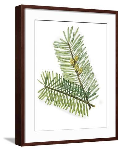 Pinaceae Leaves and Cones of European Silver Fir Abies Alba--Framed Art Print