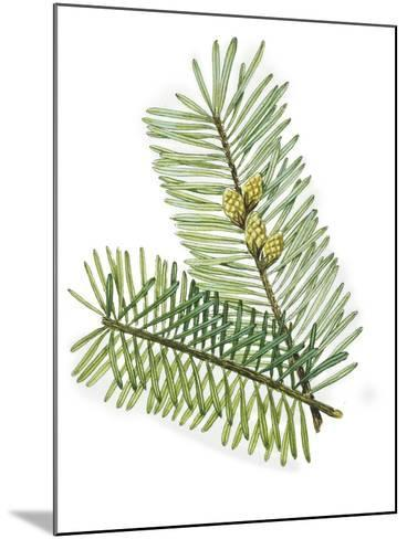 Pinaceae Leaves and Cones of European Silver Fir Abies Alba--Mounted Giclee Print