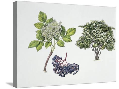 Close-Up of a Bunch of Elderberries with a Branch and Shrub--Stretched Canvas Print