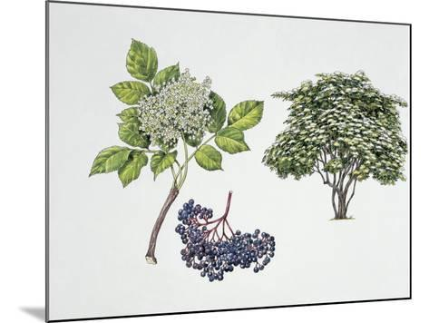 Close-Up of a Bunch of Elderberries with a Branch and Shrub--Mounted Giclee Print