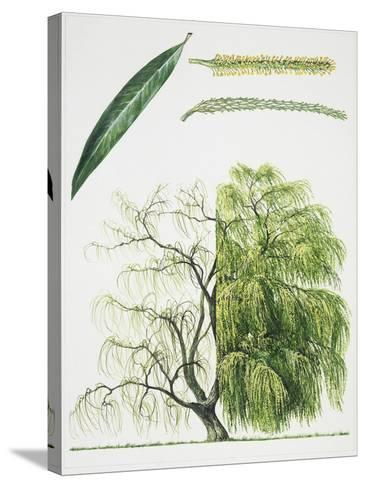 Willow (Salix L.)--Stretched Canvas Print