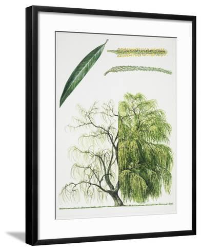 Willow (Salix L.)--Framed Art Print