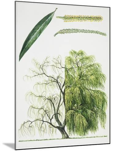 Willow (Salix L.)--Mounted Giclee Print