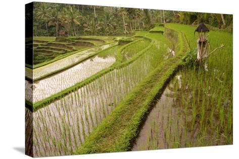 Rice Field, Near the Town of Bangli. Ubud. Bali--Stretched Canvas Print