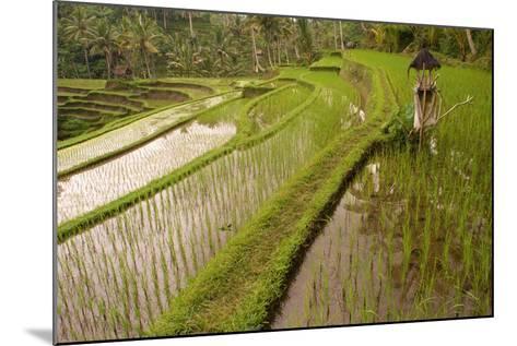 Rice Field, Near the Town of Bangli. Ubud. Bali--Mounted Photographic Print