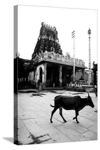Cow and Poles in Kanchipuram Temple, Tamil Nadu, India, 1979--Stretched Canvas Print