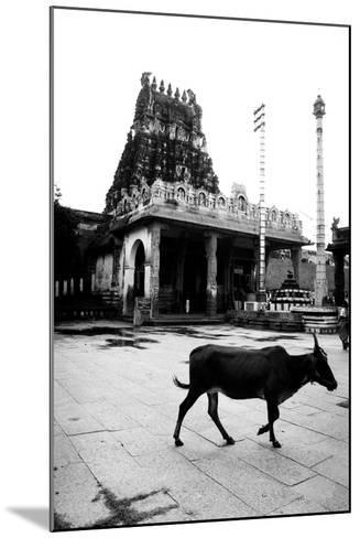 Cow and Poles in Kanchipuram Temple, Tamil Nadu, India, 1979--Mounted Photographic Print