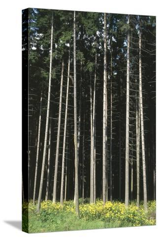 Forest, Moravia, Czech Republic--Stretched Canvas Print