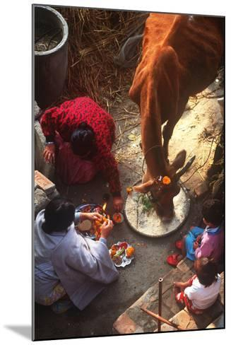 Worship of the Cow, Tihar Festival, Katmandu, Nepal--Mounted Photographic Print