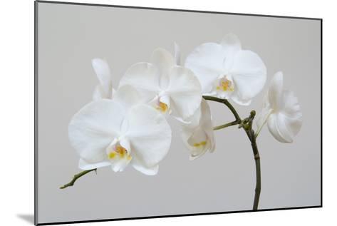 Moth Orchid (Phalaenopsis) Epiphyte--Mounted Photographic Print