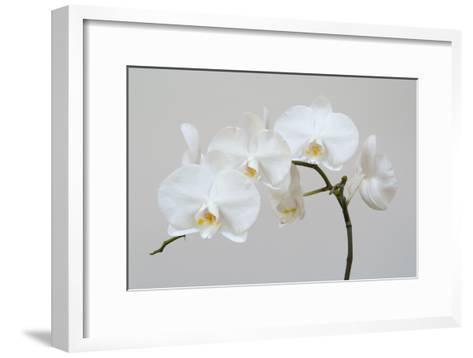 Moth Orchid (Phalaenopsis) Epiphyte--Framed Art Print