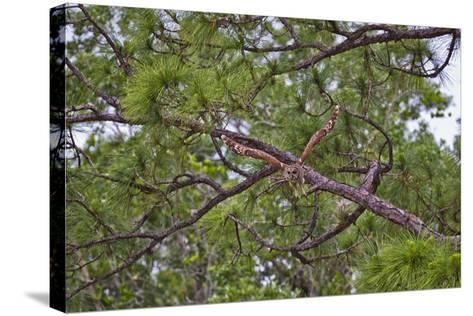A Barred Owl Taking Flight from a Pine Tree-Jim Abernethy-Stretched Canvas Print