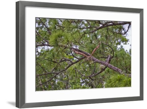 A Barred Owl Taking Flight from a Pine Tree-Jim Abernethy-Framed Art Print