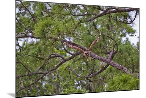 A Barred Owl Taking Flight from a Pine Tree-Jim Abernethy-Mounted Photographic Print