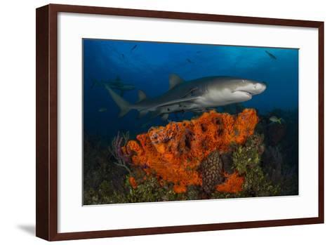 A Lemon Shark and Other Fishes Swimming over a Reef-Jim Abernethy-Framed Art Print