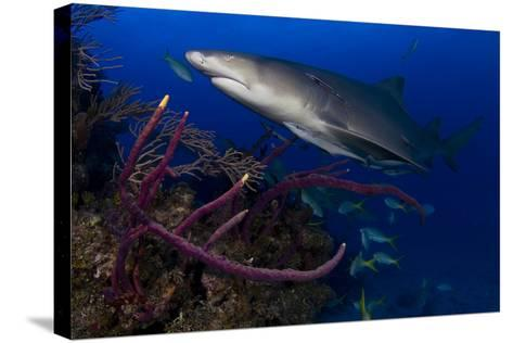 A Lemon Shark Swimming over a Reef-Jim Abernethy-Stretched Canvas Print