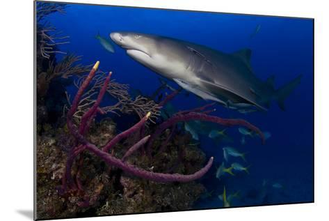 A Lemon Shark Swimming over a Reef-Jim Abernethy-Mounted Photographic Print