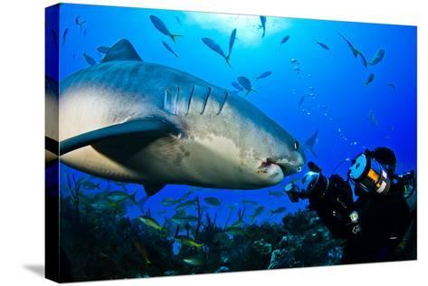 A Tiger Shark Approaching a Diver on a Reef-Jim Abernethy-Stretched Canvas Print
