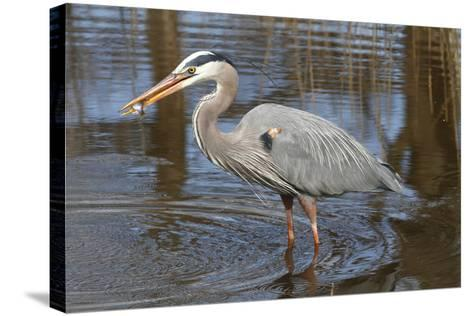 A Great Blue Heron, Ardea Herodias, Eating a Sunfish in a Marsh-George Grall-Stretched Canvas Print