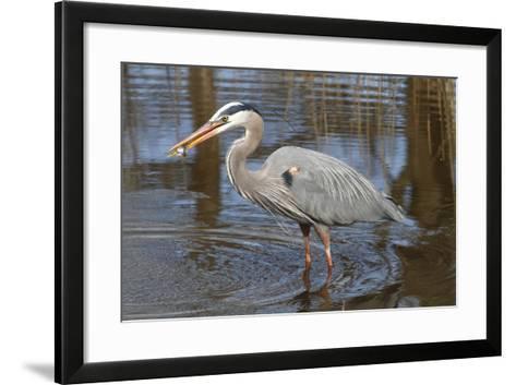 A Great Blue Heron, Ardea Herodias, Eating a Sunfish in a Marsh-George Grall-Framed Art Print