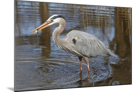 A Great Blue Heron, Ardea Herodias, Eating a Sunfish in a Marsh-George Grall-Mounted Photographic Print