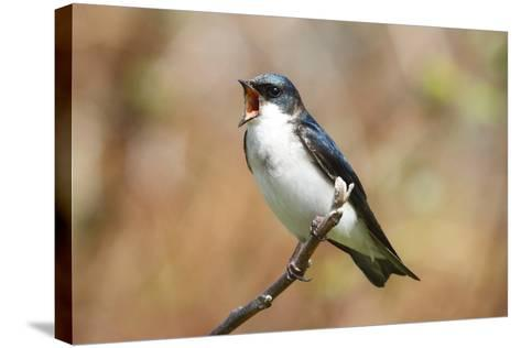 A Male Tree Swallow, Tachycineta Bicolor, Singing-George Grall-Stretched Canvas Print