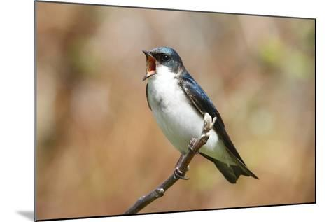 A Male Tree Swallow, Tachycineta Bicolor, Singing-George Grall-Mounted Photographic Print