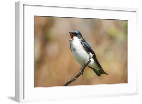 A Male Tree Swallow, Tachycineta Bicolor, Singing-George Grall-Framed Art Print