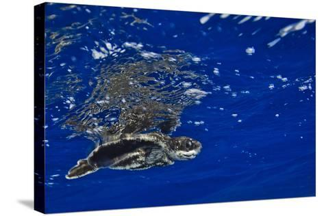 A Leatherback Sea Turtle Hatchling Swimming at the Water's Surface-Jim Abernethy-Stretched Canvas Print