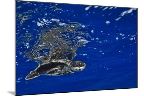 A Leatherback Sea Turtle Hatchling Swimming at the Water's Surface-Jim Abernethy-Mounted Photographic Print
