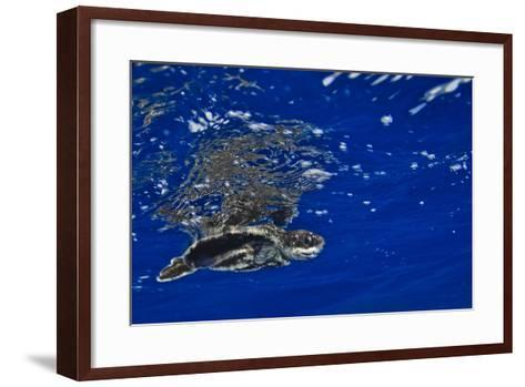 A Leatherback Sea Turtle Hatchling Swimming at the Water's Surface-Jim Abernethy-Framed Art Print