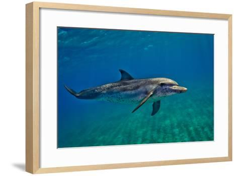 Portrait of an Atlantic Spotted Dolphin Swimming in Clear Water-Jim Abernethy-Framed Art Print