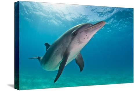 Portrait of an Atlantic Spotted Dolphin Swimming in Clear Water-Jim Abernethy-Stretched Canvas Print
