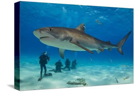 A Tiger Shark Swimming at the Sea Floor Near a Group of Divers-Jim Abernethy-Stretched Canvas Print