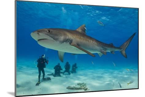 A Tiger Shark Swimming at the Sea Floor Near a Group of Divers-Jim Abernethy-Mounted Photographic Print
