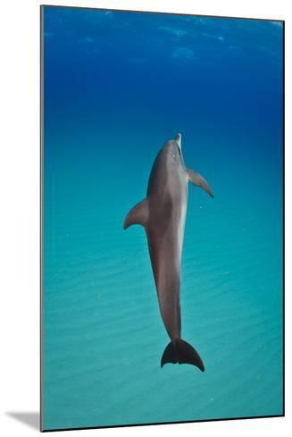An Atlantic Spotted Dolphin Swimming in Clear Blue Water-Jim Abernethy-Mounted Photographic Print