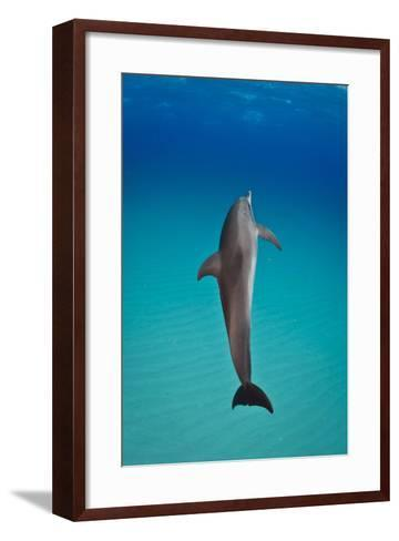 An Atlantic Spotted Dolphin Swimming in Clear Blue Water-Jim Abernethy-Framed Art Print