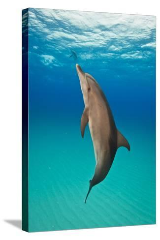Portrait of an Atlantic Spotted Dolphin Swimming in Clear Blue Water-Jim Abernethy-Stretched Canvas Print