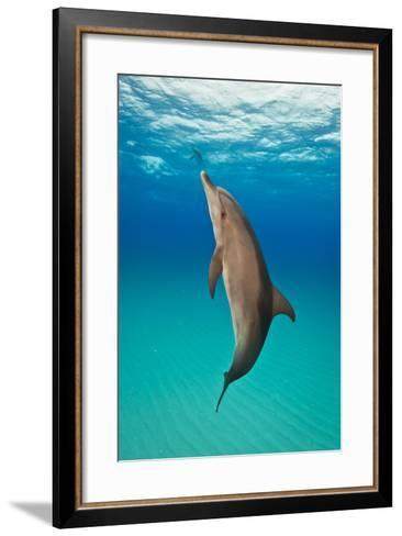 Portrait of an Atlantic Spotted Dolphin Swimming in Clear Blue Water-Jim Abernethy-Framed Art Print