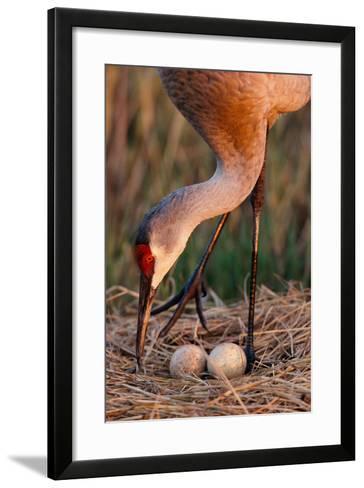 Close Up of a Sandhill Crane Tending to its Eggs-Michael Forsberg-Framed Art Print