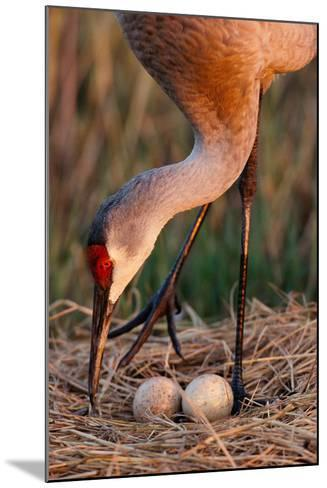 Close Up of a Sandhill Crane Tending to its Eggs-Michael Forsberg-Mounted Photographic Print